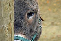 Ezels/ donkeys