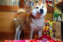 My Photography on iPhone 5 - Shiba-chan (Tokyo's famous dog) 東京 小金井 鈴木たばこ店 看板犬 しばちゃん / Photography on iPhone 5 : Copyright © Yuji Kudo http://www.yujikudo.com/