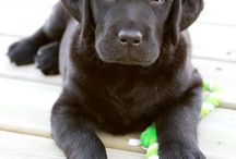 Dogs / Labradors mainly
