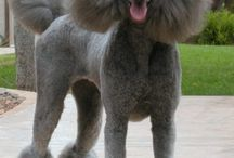 Poodle / by Roseli Barbosa