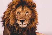 Poze Lion