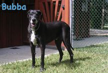 """""""Great Dane Love"""" - A Central Florida Great Dane Rescue / Check out their website: http://gdlcf.org"""
