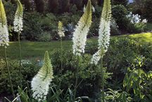 White Flowering Gardens / Moon garden: plants that reflect the light of the moon- white flowering. Silver grey foliage, variegated foliage.