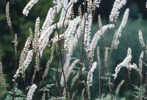 Flera Actea simplex