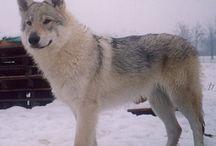 Czechslovakian wolfdog <3