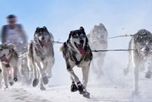 Sled dog / Rekikoira