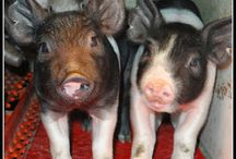 Pigs / The real story about pig farming