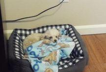 Penny - My Poodle / My dog