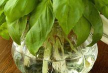 Basil propagation