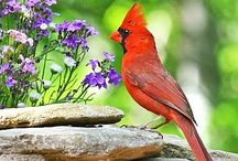 In Mom's Memory / My mom and I love cardinals. In her death I often know she's thinking of me as she promised to visit as a cardinal.  Blackeye Susan's were her favorite!!
