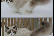 Pictures of Ragdoll Cats in Snow