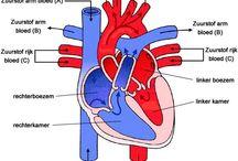 Anatomie / Fysiologie