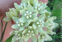 Milkweed / Plant milkweed to attract butterflies!