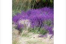 Plants / Salvia lubecca