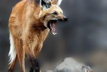 Animels - Wolf