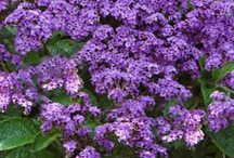HELIOTROPE / Varieties and Colours