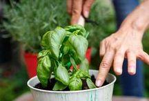 Bylinky a och pestovanie