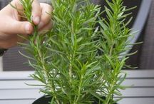Herbs... INFO & How to / by Cathy Kantowski