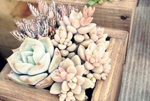planter sukkulent