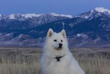 The love of Samoyeds!