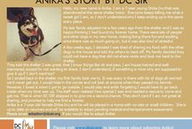 Anika - Adopted! / Shiba Inu - Female - 7 Year Old - Black & Tan