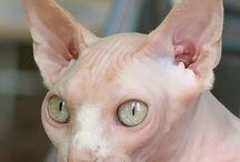 Sphinx Cat or Devon Rex