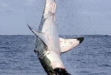 shark love <3