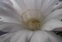 Cactos e Suculentas - Flor / Somente cactos e suculentas com flores...