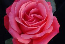 Beautiful Roses / Flowers
