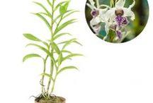 Anggrek Species / Semua tanaman dalam board ini bisa dikirim keseluruh Indonesia, silahkan order ya, tel: 0341-599399 I SMS center: 08569020300 atau kunjungi website kami www.kebunbibit.id