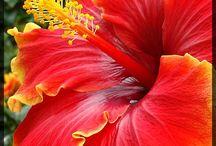Ibiscus...fiore più bello al mondo