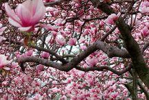 .Magnolia.