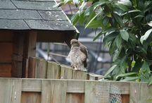 Birds3 / Sperwer in onze tuin