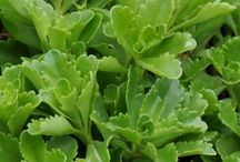 Sedums and Succulents / Sedums, succulents, cactus-type plants. Examples of varieties and containers.  / by Rebecca Nickols
