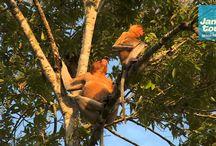 Film: Näsapor - Jambo Tours / Näsapan lever på Borneo och är bladätare. Hannens karaktäristiska drag, med stor näsa, tros finnas för att locka till sig honor. Arten är starkt hotad. På Jambo Tours resa Malaysia från väst till öst kommer du till Sukau på Bornoe - där är det relativt goda möjligheter se näsapor. Se mer på http://www.jambotours.se/resa/malaysia-fran-ost-till-vast-2/