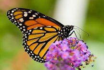 Monarchs in the wild!