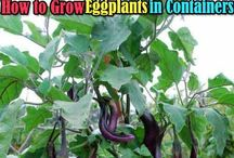 grow egg plants