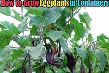 grow egg plants