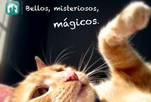 Whapets App Gatos / Gatos en adopción, Adoptar mascotas, adoptar gatos, mascotas perdidas, adopción cachorros, gatitos, gatos gratis, http://whapets.com/
