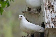 homing pigeons