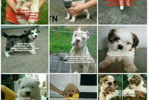 VON JAVELLINE KENNEL jual anjing Ras keterangan lbh lnjt silahkan kontak nomor Anni Effendi di 081572985289 via whatsapp thanks