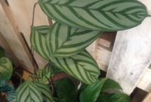 Indoor oracle plants / We have a fine selection of indoor plants for you to pick from.