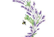 Lavanta / Lavender