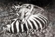 B_Thylacine