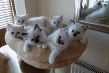 Birman cats and kittens