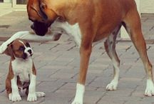 Boxer Babies / by Lori Collins