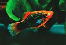 """The Platy From Aquarium Fish advisor / Dr. Thomas R. Reich has written books on tropical fish and aquariums since 1973 when he published """"All You Need to Know about Tropical Fish"""" with TFH Publications, at the age of only 17 under the tutelage of his mentor Dr Herbert R Axelrod.  http://aquariumfishadvisor.com/about-us/"""