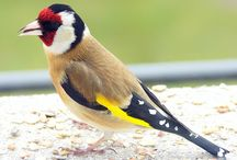 Goldfinch ♥ ⓛ ⓞ ⓥ ⓔ ♥