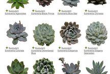 succulentes et cactus