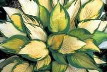 Hosta / by Zippy Pins